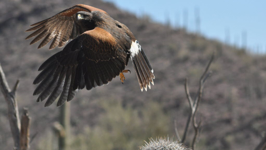 A harris hawk in flight above a cactus.